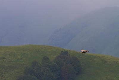 Griffin vultures roar over the Pyrenees on the Camino de Santiago.