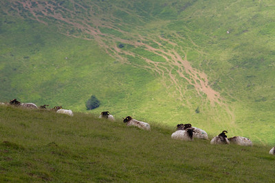 Resting sheep in the Pyrenees Mountains on the Camino de Santiago.