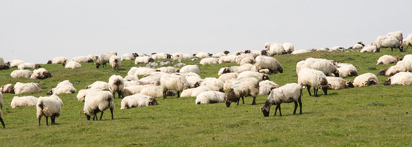 Sheep graze in the Pyrenees mountains on the first day of the Camino de Santiago.