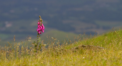 Blossoming hollyhocks in the Pyrenees Mountains on the Camino de Santiago.