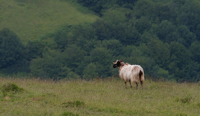 A sheep surveys the scene of the Pyrenees Mountains on the first day of the Camino de Santiago.