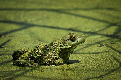 Camouflaged Bullfrog