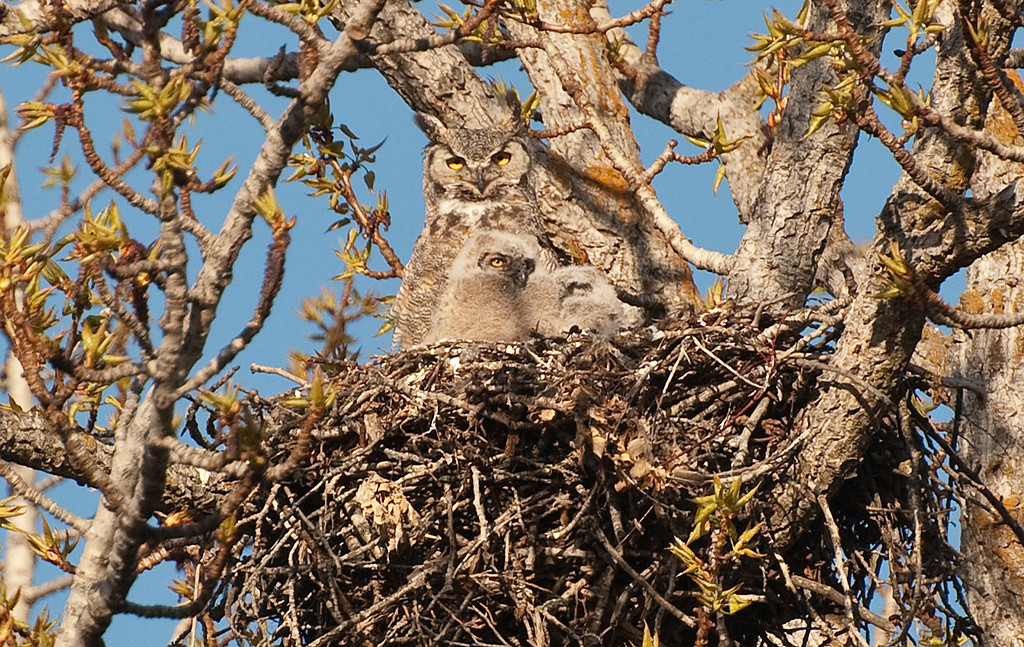 Great-horned Owl. Adult with 2 chicks.