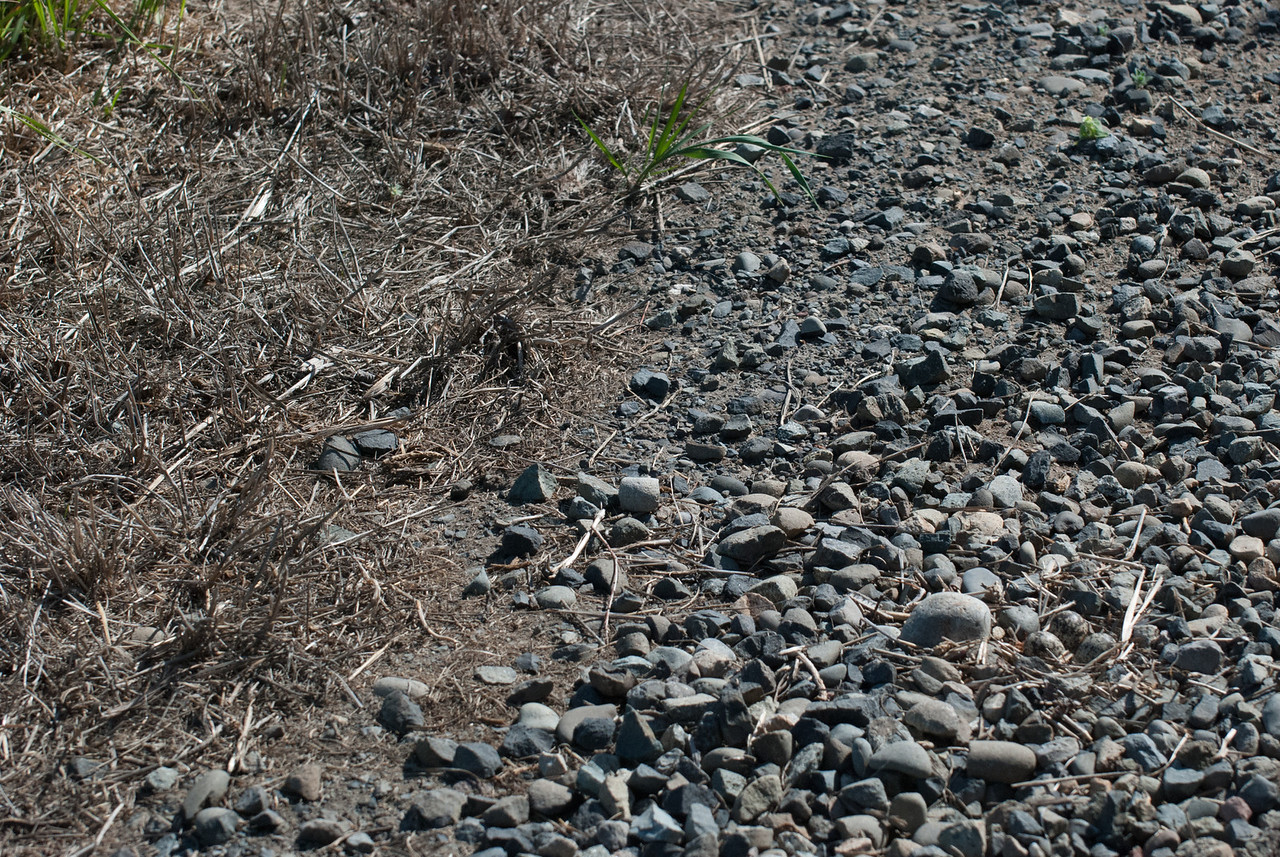 Can you see the nest? There are three eggs. Killdeer build a very skimpy nest and rely on camouflage to conceal their eggs.