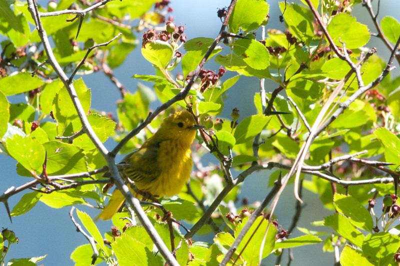 This Yellow Warbler is easy to see here but imagine looking high up into a tree and trying to locate this beautiful bird. Light yellow birds can seem to disappear in light green leaves.