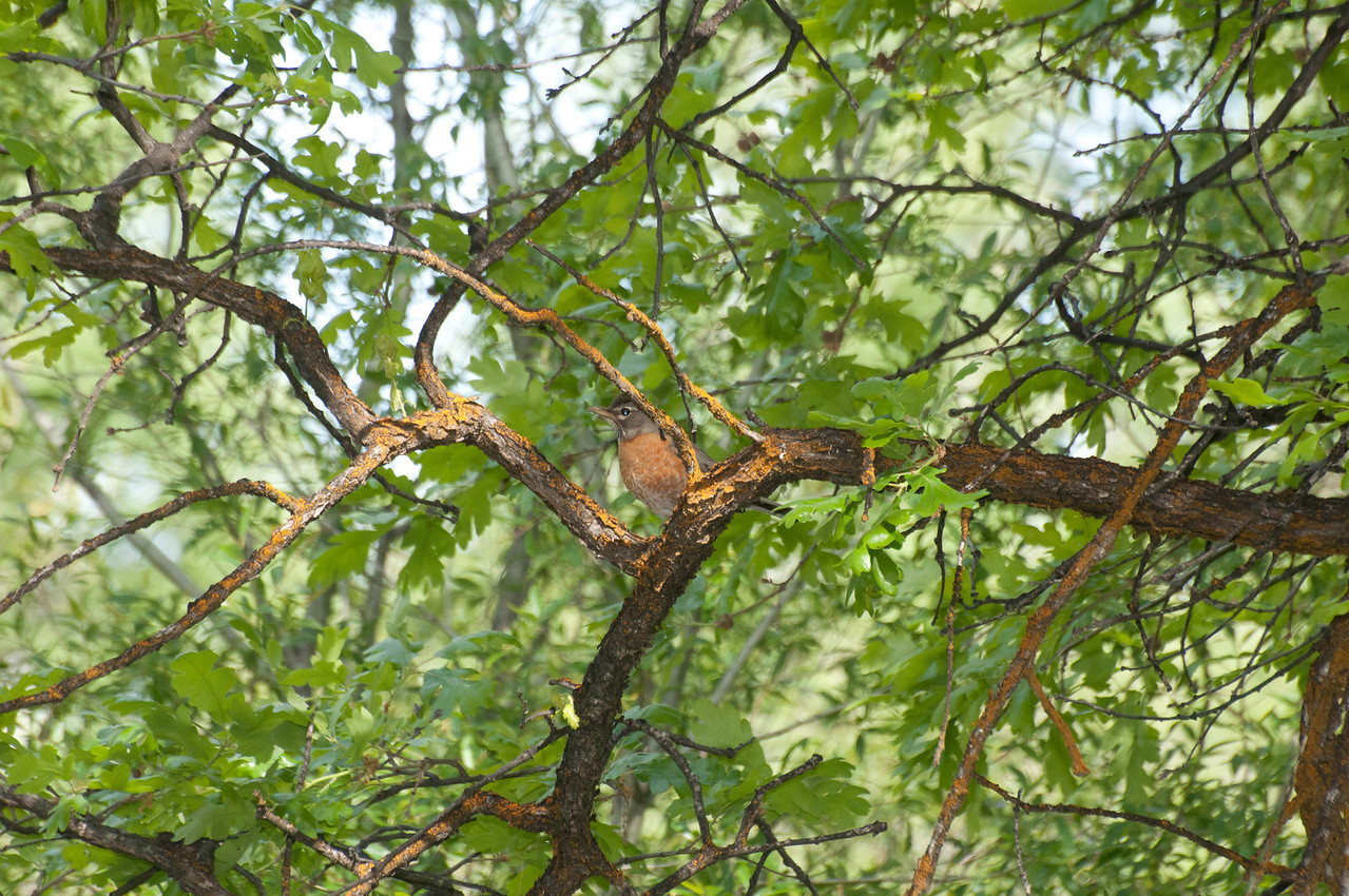 American Robin. Even a robin can hide in plain sight.