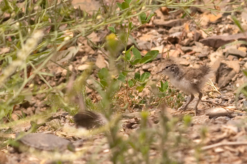 Spotted Sandpiper juvenile. Fluffy.