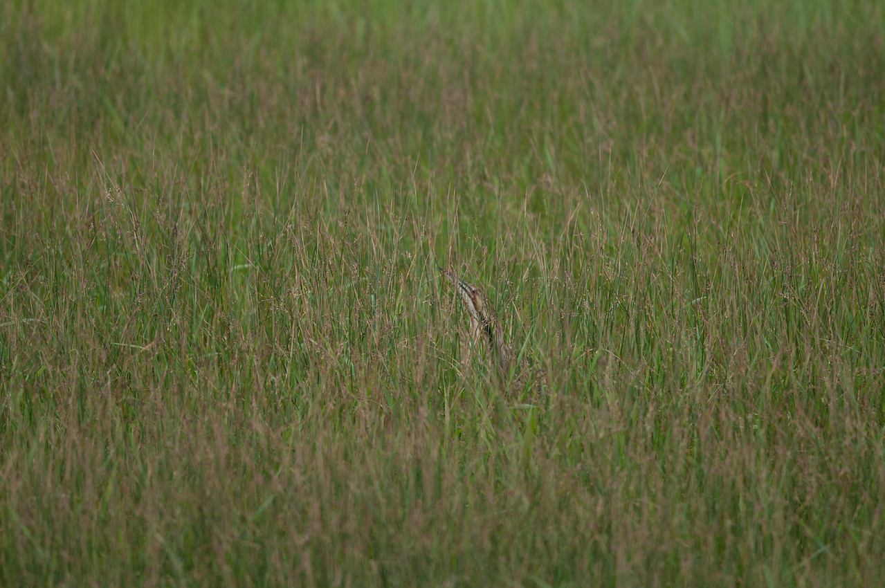 American Bittern. A wading bird that often freezes in near vertical posture when it senses danger. Here the bird is pretty easy to see in uniform grass but imagine trying to locate this bird in reeds or other coarse vegetation.