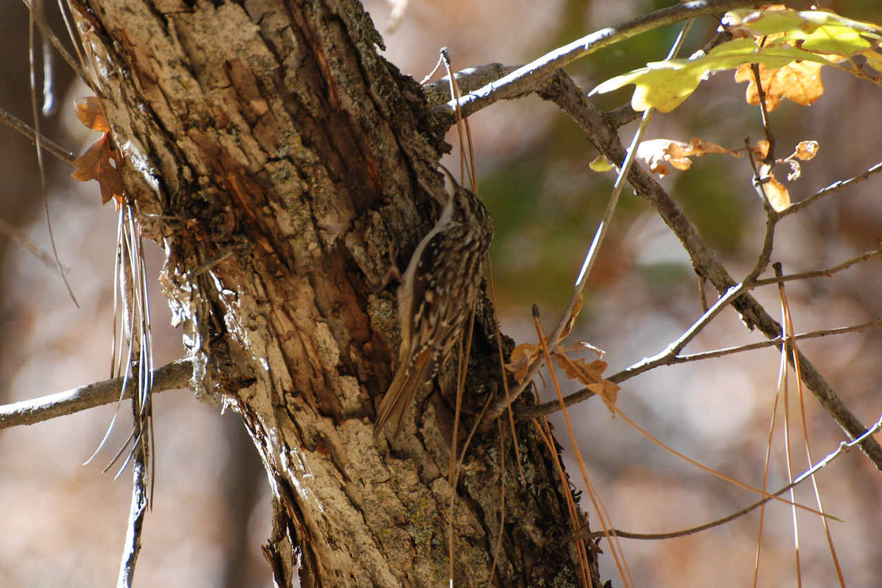 Brown Creeper. This bird searches for insects in bark crevices typically flying to the base of a tree and working it's way upward, then flying to the base of next tree.