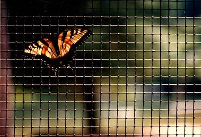 butterflyTekoa