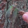Cicadas are emerging