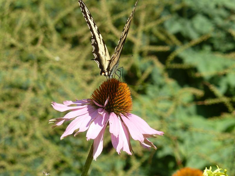 Tiger Swallowtail!