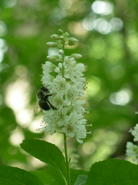 It's hard to resist the smell of sweet pepperbush.