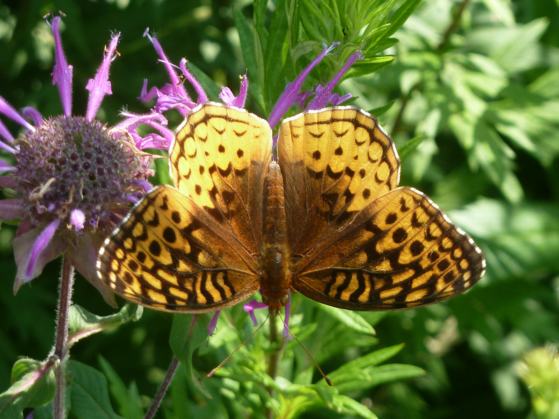 ...the Great Spangled Fritillary!