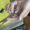 Turtle caught a toad!
