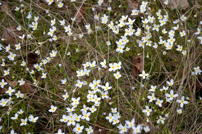 Beautiful bluets show spring is in full swing!