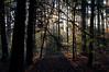 Sunrise thru the forest.