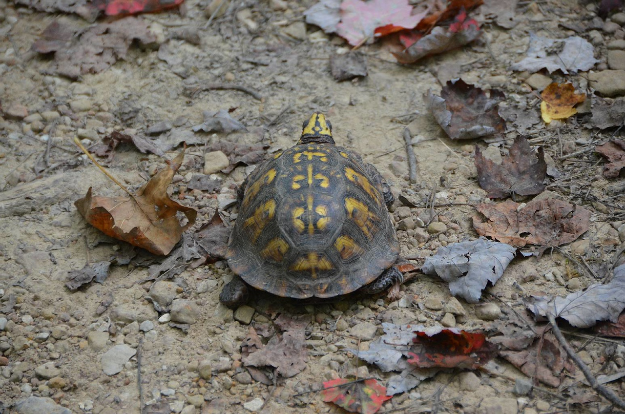 """3719 - Almost all the way down from the """"Observatory"""", we came across this box turtle also headed for  civilization. We were so exhausted, we had trouble keeping up!"""