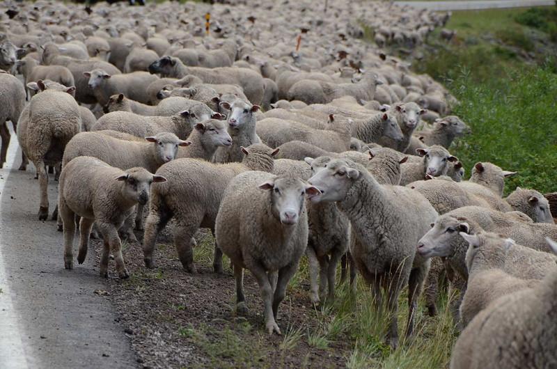 7412 & 7417 - Acres and acres of sheep! Baaahhh.... baaahhh!