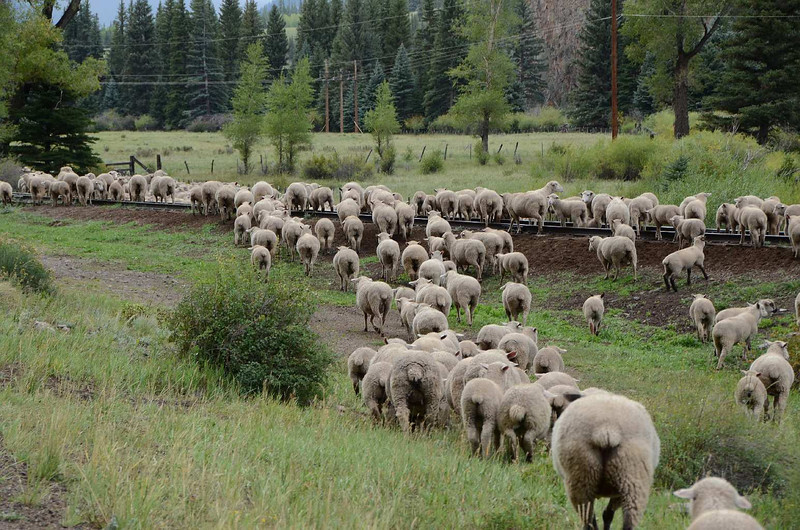 217 - Wagon Wheel Gap - Sheep_7430-C