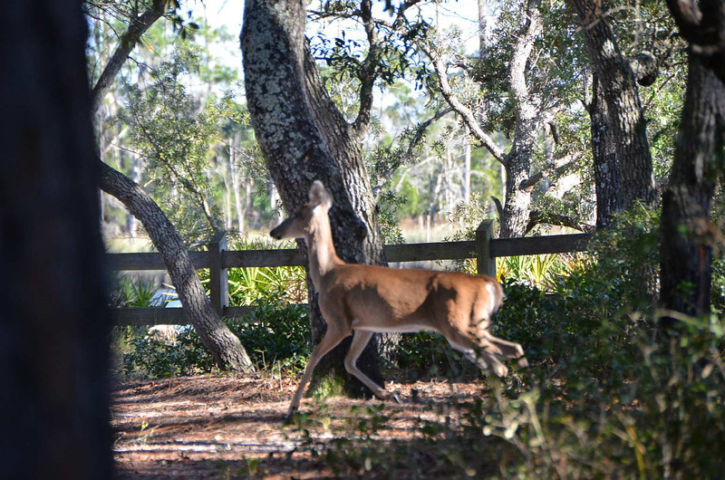 9683 - This deer trotted right through our campsite this afternoon. Just shows you, anything can happen!