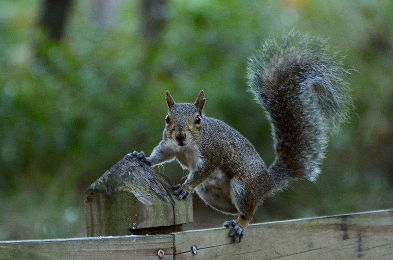 9722 - I don't want to be accused of being prejudiced against grey squirrels, so just to be politically correct, and here's a snap of one of them!  (Some of my best friends are grey, really),