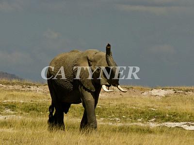 Elephant  Amboseli National Park Kenya Africa 2