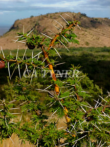 Acacia Kanzi Kenya Africa 2