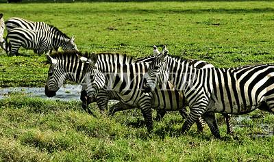 Zebras  Amboseli National Park Kenya Africa 3