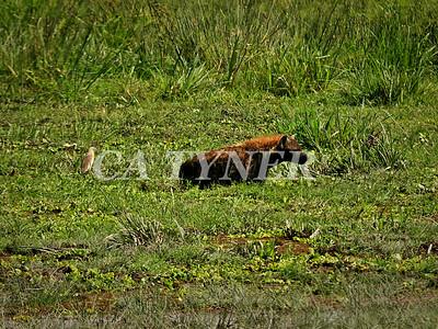 Hyaena  Amboseli National Park Kenya Africa