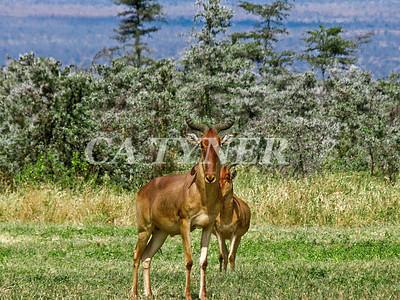 Hartebeest  Campi Ya Kanzi Kenya Africa