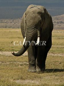 Elephant  Amboseli National Park Kenya Africa 3