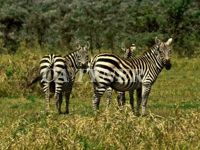 Zebras Campi Ya Kanzi Kenya Africa