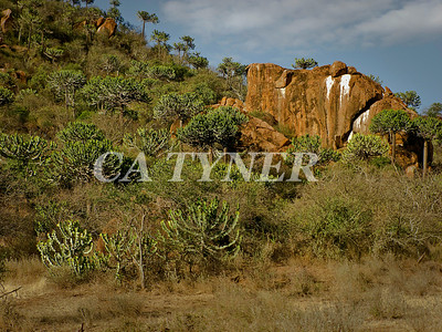 Euphorbia Candelabrum Fly Camp At Kanzi Kenya Africa