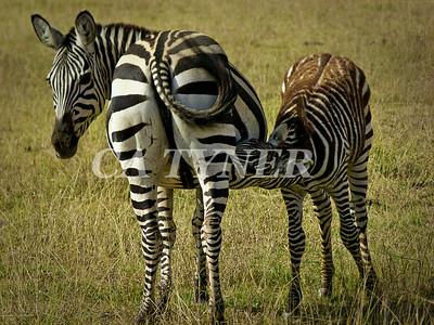 Nursing Zebra  Amboseli National Park Kenya Africa