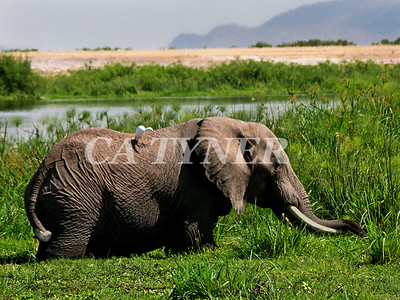 Elephant  Amboseli National Park Kenya Africa