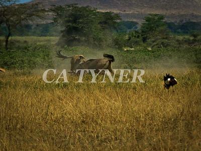 Wildebeest Dual  Amboseli National Park Kenya Africa