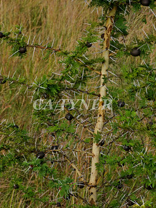 Acacia Kanzi Kenya Africa