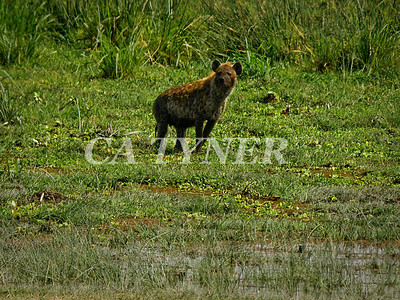 Hyaena  Amboseli National Park Kenya Africa 2