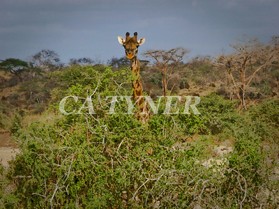 Masai Giraffe Fly Camp At Kanzi Kenya Africa