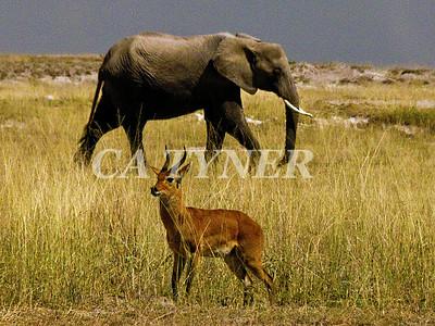 Bohor Reed Buck & Elephant  Amboseli National Park Kenya Africa