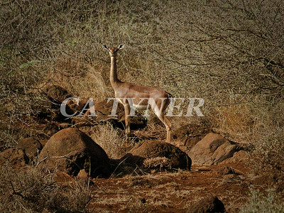 Gerenuk Fly Camp At Kanzi Kenya Africa