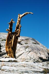 Waltzing trees, above Columbine Lake.