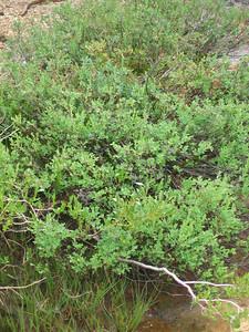 Willows and manzanita
