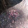 Looks like rose petals.