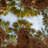 Desert Oasis Canopy of Washingtonia filifera, aka desert fan palm