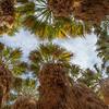 Desert Oasis Canopy of Washingtonia filifera, aka desert fan palm