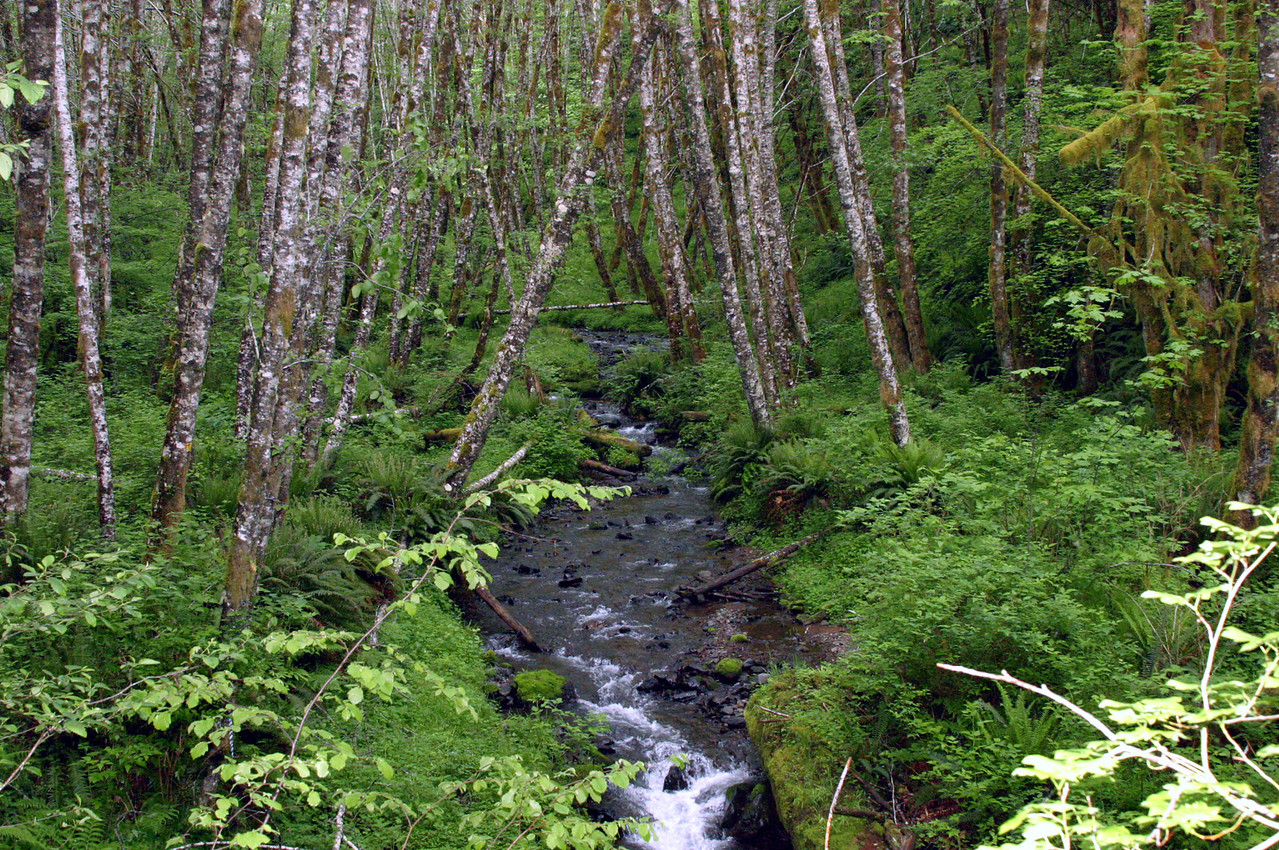 """<font size=""""+1"""">And backing the spooky old maple tree is this lovely canyon in the rain forest..  So may shades of green this weekend that it simply boggled the mind.. </font>"""