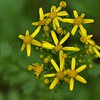 Packera glabella - Butterweed, Cress-leaf Groundsel