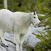 Mtn Goat.jpg